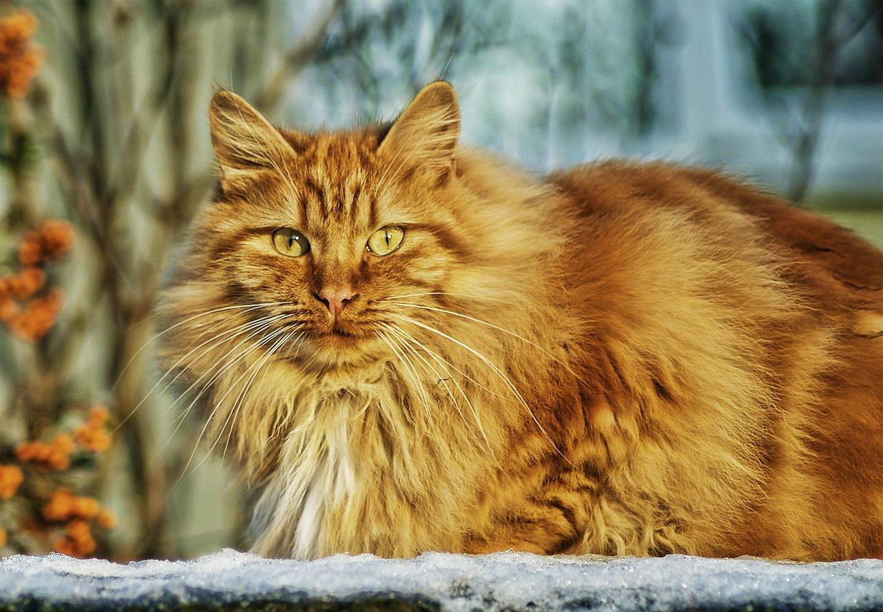 חתול שמן